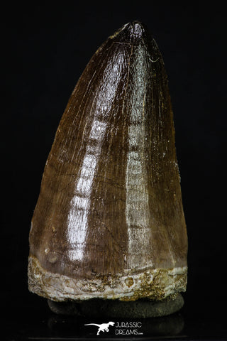 20201 - Top Rare 2.35 Inch Huge Prognathodon curii (Mosasaur) Tooth Late Cretaceous