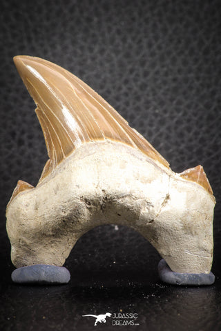 07328 - Top Huge OTODUS OBLIQUUS (mackerel shark) Tooth Paleocene