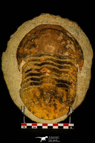 30464 - Huge 7.28 Inch Asaphid Trilobite in Concretion Ordovician Morocco