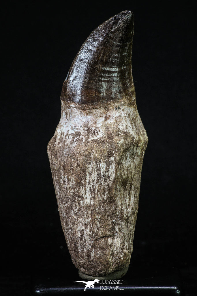 20205 - Top Huge Rooted 4.50 Inch Mosasaur (Prognathodon anceps) Tooth