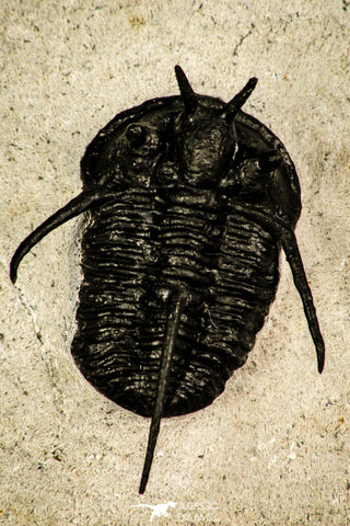 "30206 - Nicely Preserved 1.26 Inch ""Devil Horned"" Cyphaspis walteri Devonian Trilobite"