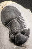07370 - Nicely Preserved 1.93 Inch Paralejurus spatuliformis Devonian Trilobite