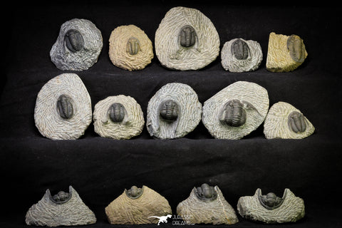 21256 - Great Collection of 14 Cornuproetus sp Middle Devonian Trilobites