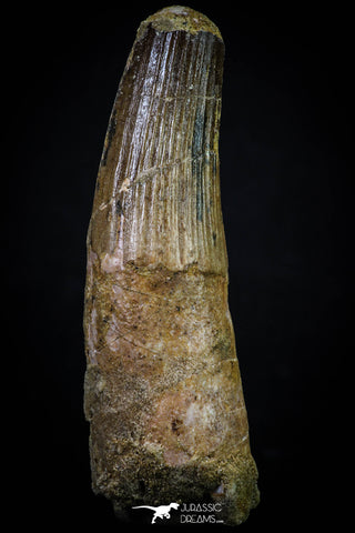 20267 - Well Preserved 3.40 Inch Spinosaurus Dinosaur Tooth Cretaceous