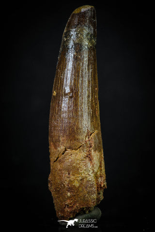 20270 - Well Preserved 2.72 Inch Spinosaurus Dinosaur Tooth Cretaceous