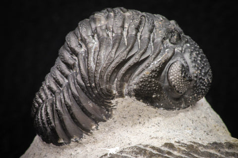 08326 - Top Detailed 1.44 Inch Austerops sp Lower Devonian