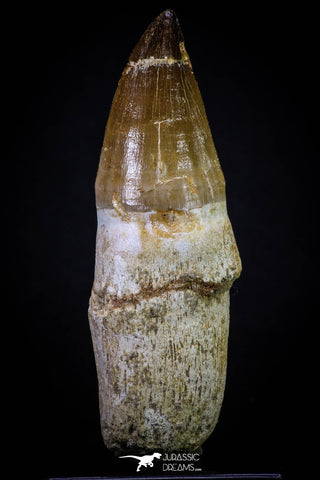 20281 - Top Huge Rooted 4.46 Inch Mosasaur (Prognathodon anceps) Tooth