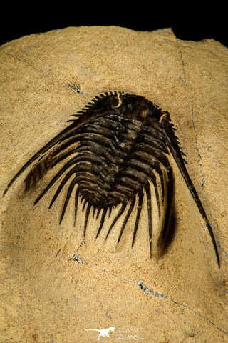 30249 - Outstanding 1.85 Inch Kettneraspis prescheri (Long Occipital Horn) Lower Devonian Trilobite