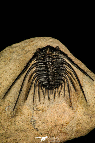 30250 - Outstanding 1.80 Inch Kettneraspis prescheri (Long Occipital Horn) Lower Devonian Trilobite