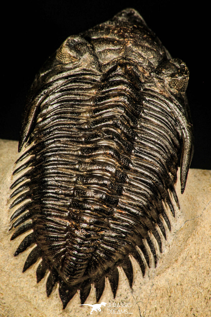 30253 - Top Beautiful 1.89 Inch Metacanthina issoumourensis Lower Devonian Trilobite