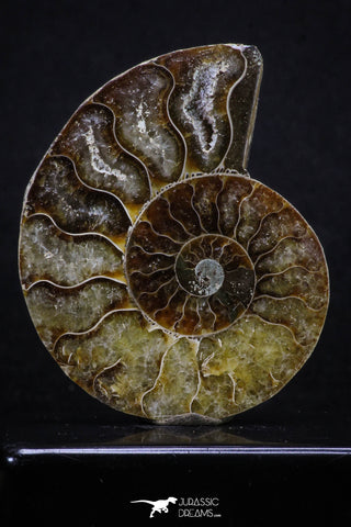 20313 - Cut & Polished 2.53 Inch Cleoniceras sp Lower Cretaceous Ammonite Madagascar - Agatized