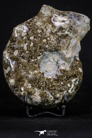 20318 -  Nice Polished 4.93 Inch Mammites nodosoides (Ammonite) Upper Cretaceous Turonian