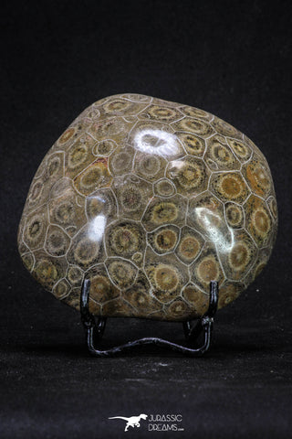 20320 - Devonian 3.72 Inch Polished Fossil Rugose Coral Hexagonaria sp