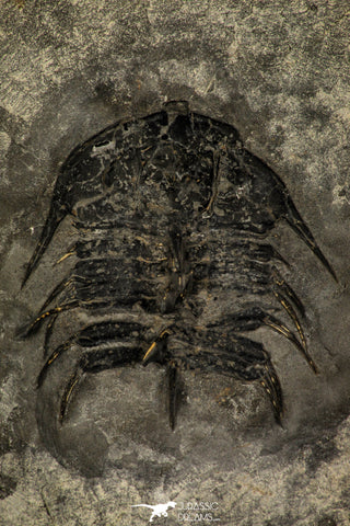 30261 - Top Rare 2.05 Inch Olenoides nevadensis Middle Cambrian Trilobite - Utah USA