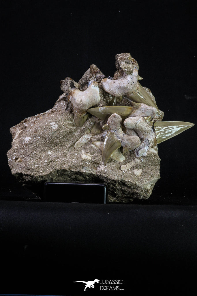 20345 - Museum Grade Association of 7 Otodus obliquus Shark Teeth in Matrix Paleocene