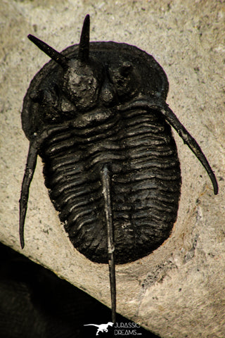 "30292 - Well Prepared 1.43 Inch ""Devil Horned"" Cyphaspis walteri Devonian Trilobite"