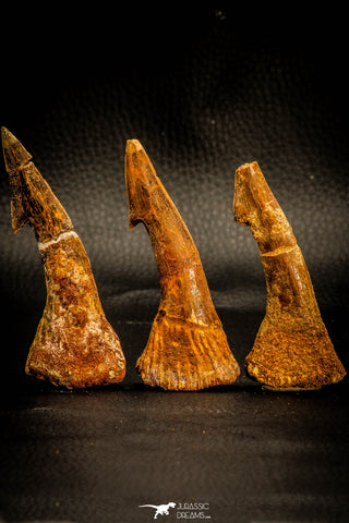 05412 - Great Collection of 3 Onchopristis numidus Cretaceous Sawfish Rostral Teeth Cretaceous