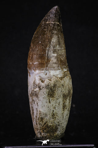 20353 - Top Huge Rooted 3.43 Inch Mosasaur (Prognathodon anceps) Tooth