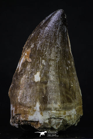 20355 - Well Preserved 2.44 Inch Mosasaur (Prognathodon anceps) Tooth