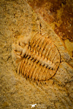 30497 - Top Quality Association of 2 Sinespinaspis sp Lower Silurian Trilobites - Australia