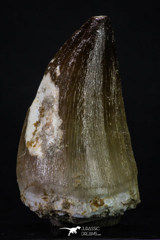20358 - Well Preserved 2.15 Inch Mosasaur (Prognathodon anceps) Tooth