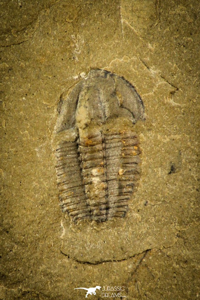 30500 - Well Preserved 0.36 Inch Eokochaspis piochensis Middle Cambrian Trilobite - Nevada, USA