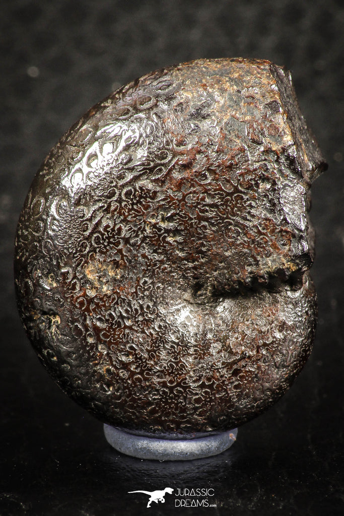 07515 - Top Quality Pyritized 1.15 Inch Phylloceras Lower Cretaceous Ammonites