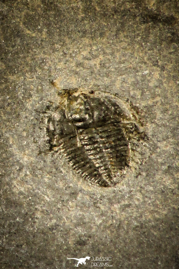 30501 - Beautiful 0.14 Inch Dolerolenus laevigata Cambrian Trilobite - China