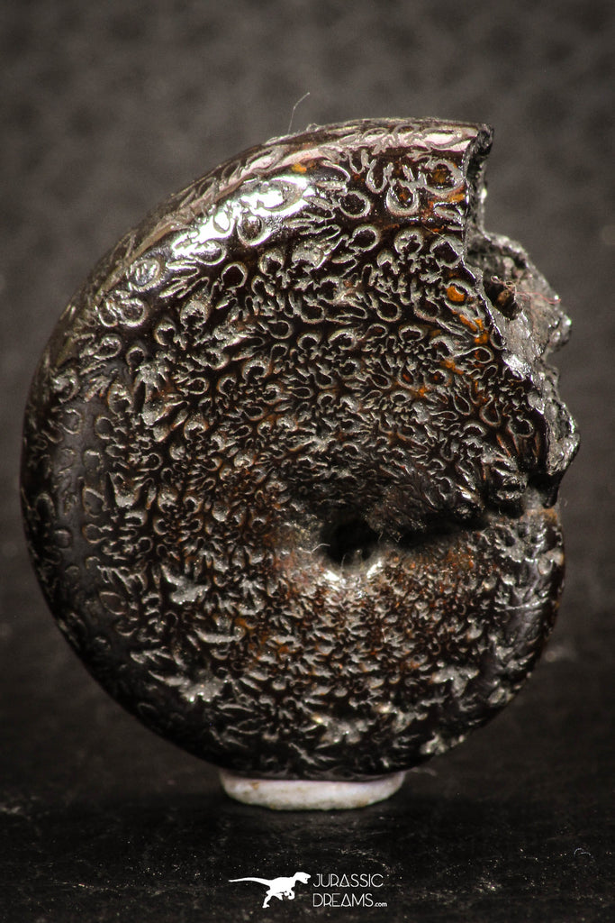 07521 - Nicely Preserved Pyritized 1.23 Inch Unidentified Lower Cretaceous Ammonites