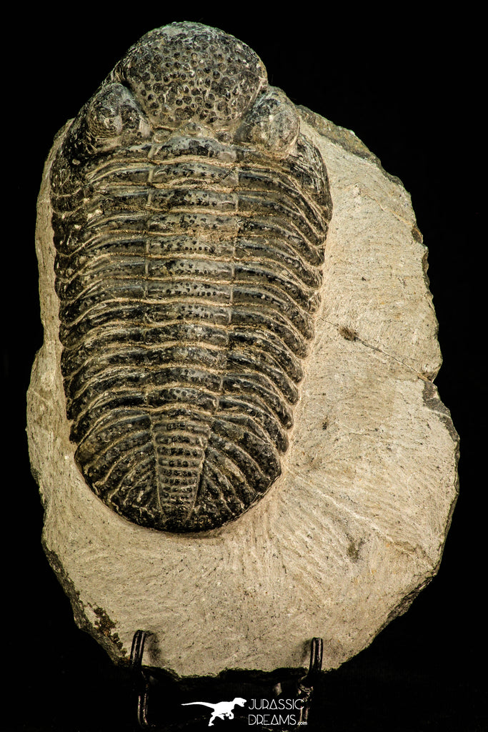 30512 - Top Huge 5.09 Inch Drotops megalomanicus Middle Devonian Trilobite