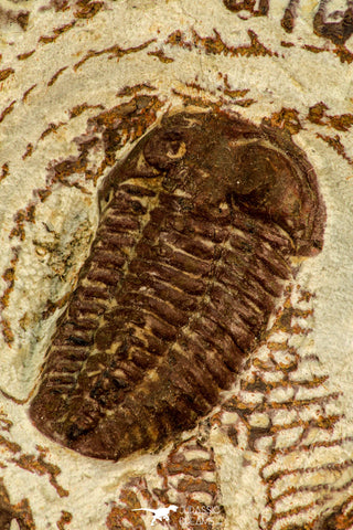 30524 - Well Preserved 1.41 Inch Bavarilla sp Lower Ordovician Trilobite Fezouata Fm