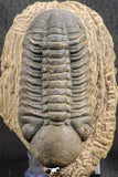 07540 - Top Rare Detailed 3.02 Inch Reedops sp Lower Devonian Trilobite