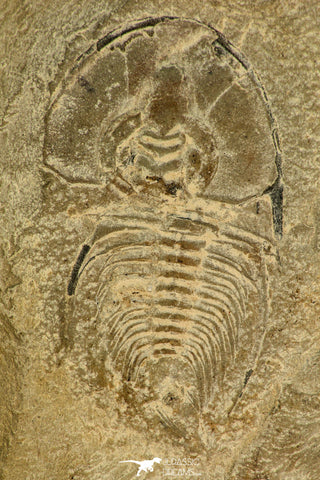 30525 - Top Rare 1.44 Inch Olenellus chiefensis Lower Cambrian Trilobite - Nevada USA