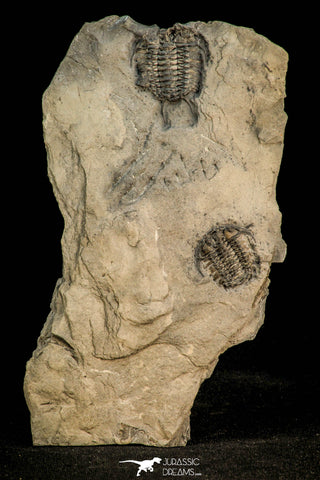 30528 - Top Rare Association of 2 Ceraurus sp Ordovician Trilobite - New York, USA