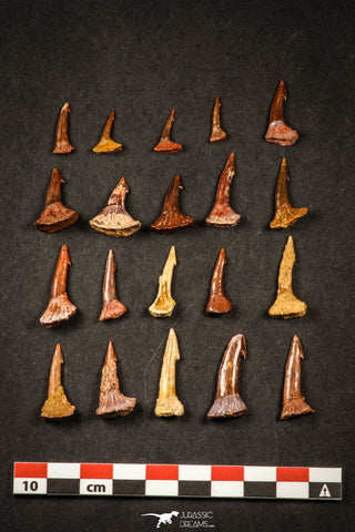 21647 - Great Collection of 20 Onchopristis numidus Cretaceous Sawfish Rostral Teeth Cretaceous