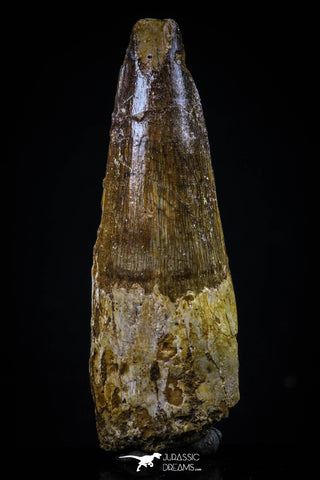 20428 - Well Preserved 2.34 Inch Spinosaurus Dinosaur Tooth Cretaceous
