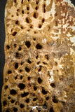 07553 - Top Huge 6.50 Inch Cretaceous Crocodile Dermal Scute Bone KemKem