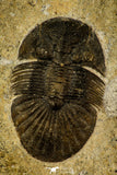 30542 - Nicely Preserved 1.28 Inch Scabriscutellum sp Middle Devonian Trilobite
