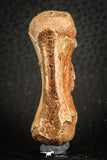 07556 - Top Rare 1.95 Inch Unidentified Theropod Dinosaur Caudal (Tail) Vertebra Bone Cretaceous KemKem Beds