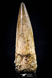 20437 - Nicely Preserved 1.48 Inch Spinosaurus Dinosaur Tooth Cretaceous
