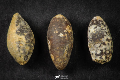 21660 - Great Collection of 3 Fossilized Silicified Pine Cones EQUICALASTROBUS Eocene Sahara Desert