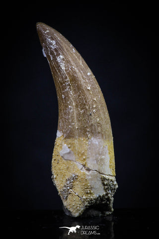 20445 - Top Quality 1.36 Inch Partially Rooted Elasmosaur (Zarafasaura oceanis) Tooth