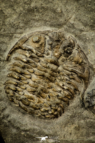 30554 - Top Beautiful 1.03 Inch Leviceraurus mammilloides Ordovician Trilobite - Ontario, Canada
