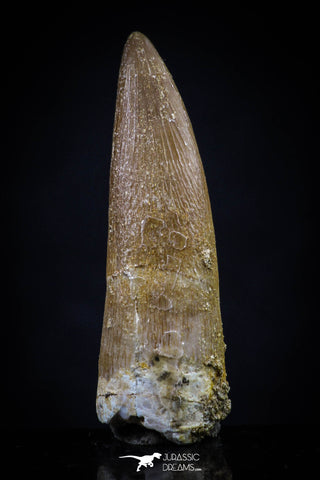 20446 - Top Quality 1.37 Inch Partially Rooted Elasmosaur (Zarafasaura oceanis) Tooth
