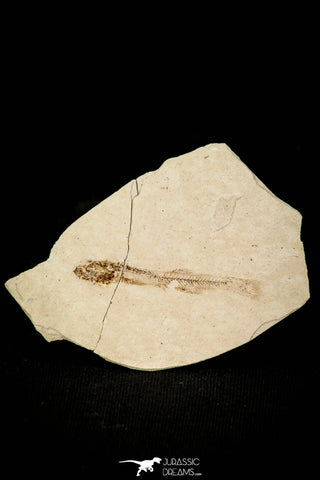 30556 - Beautiful 1.50 Inch Fossil Fish Fundulus nevadensis Pliocene - Nevada