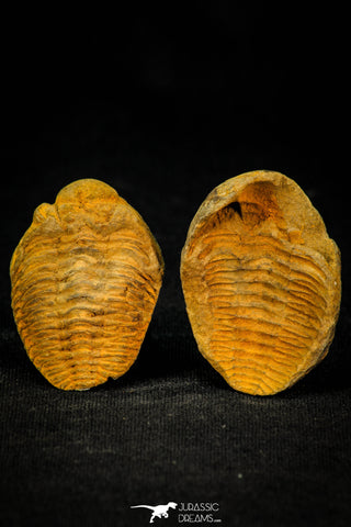 30559 - Beautiful 1.58 Inch Positive/Negative Metacryphaeus venustus Lower Devonian Trilobite - Bolivia