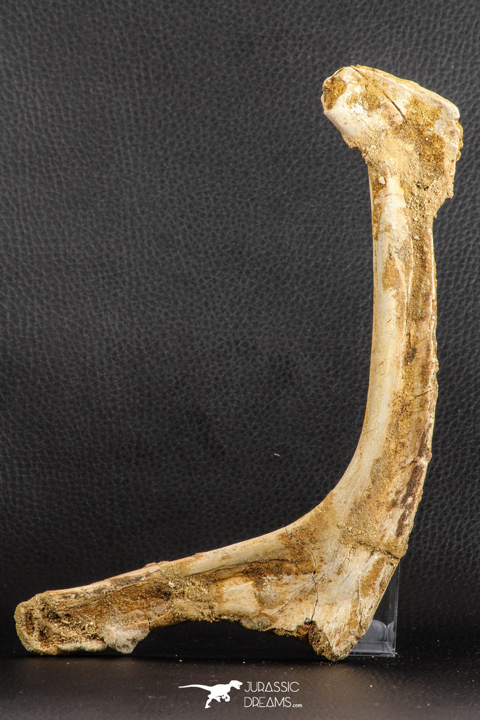 07571 - Top Rare 8.27 Inch Unidentified Crocodile Rib Bone Cretaceous KemKem Beds