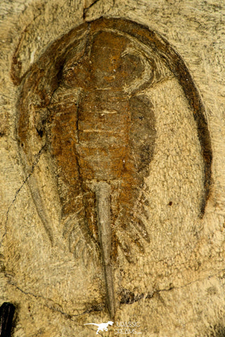 30585 - Nicely Preserved 2.41 Inch Apatokephalus sp Lower Ordovician Trilobite - Morocco