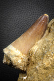 07588 - Top Huge 3.04 Inch Mosasaur (Prognathodon anceps) Tooth in Matrix Late Cretaceous