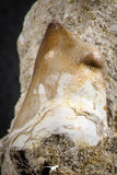 07591 - Top Rare 1.72 Inch Mosasaur (Prognathodon anceps) Tooth Pathologically Deformed